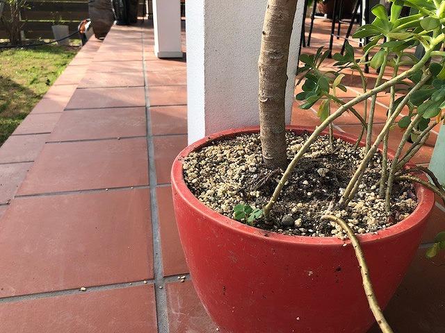 観葉植物にRテコラを施工する前の写真